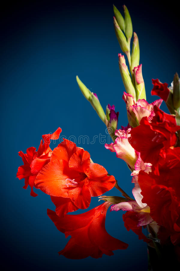 Flowering gladioli stock photo