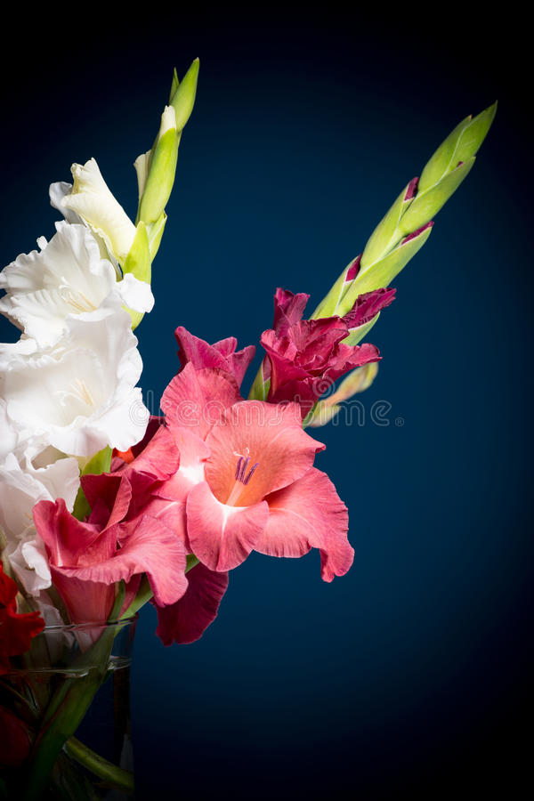 Flowering Gladioli Stock Image