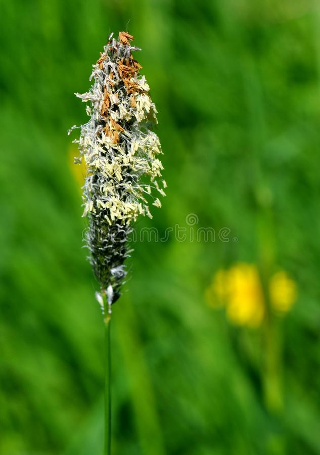 Download Flowering grass stock image. Image of pollen, blow, natural - 22842269