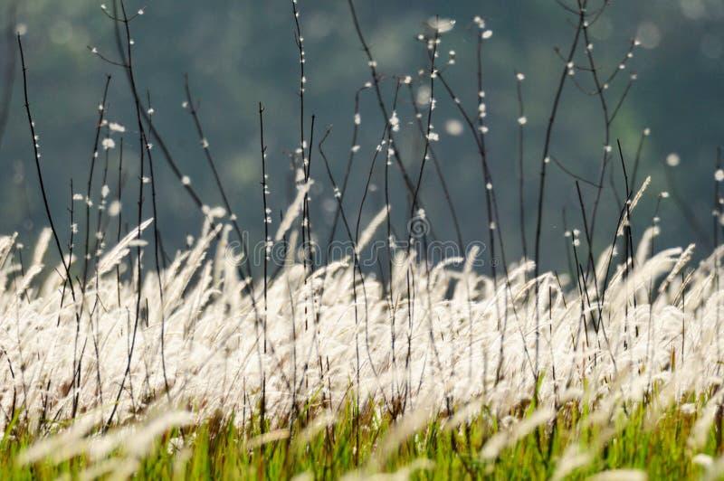 Flowering grasses stock image