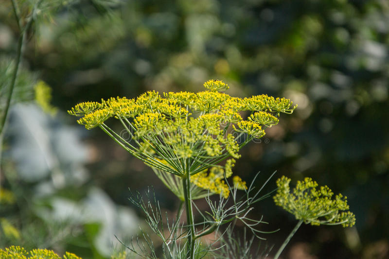 Flowering green dill herbs plant in garden Anethum graveolens. Closeup of fennel flowers on summer time. Agricultural background. Flowering green dill herbs royalty free stock images