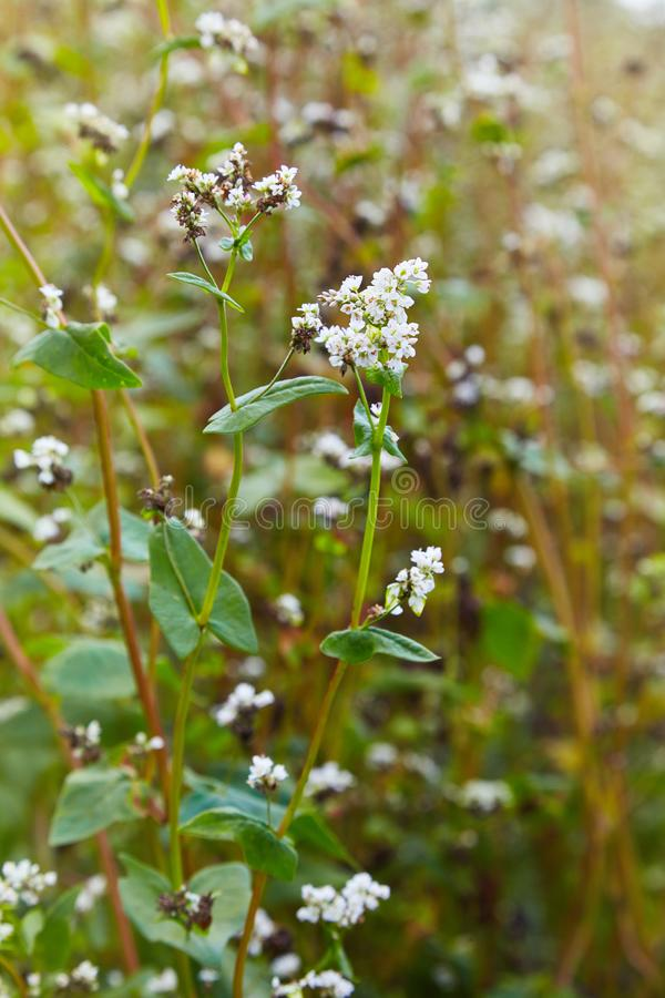 Flowering growing buckwheat plant in agricultural field. Crop royalty free stock photo