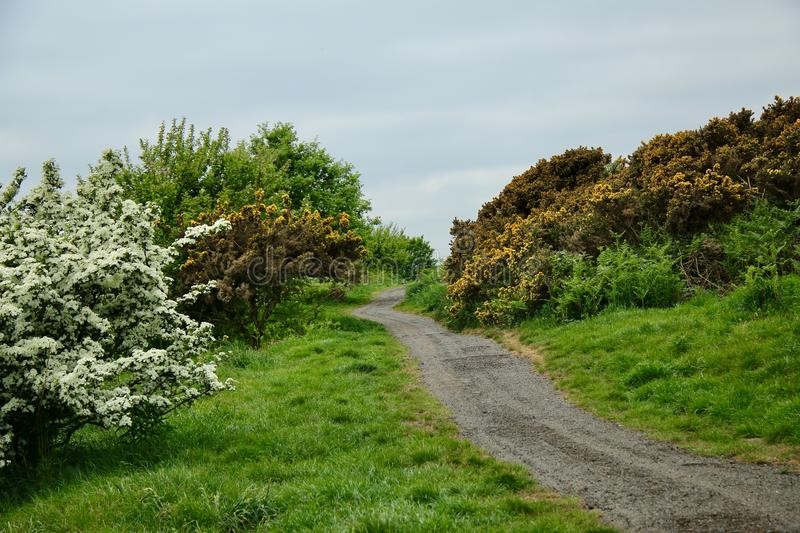 Flowering Hawthorn and flowering gorse. View over moorland with a flowering hawthorn bush on a worn pathway gorse bush and trees with differing shades of colour royalty free stock images