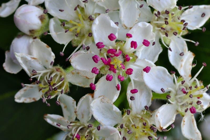 Flowering hawthorn tree stock photos