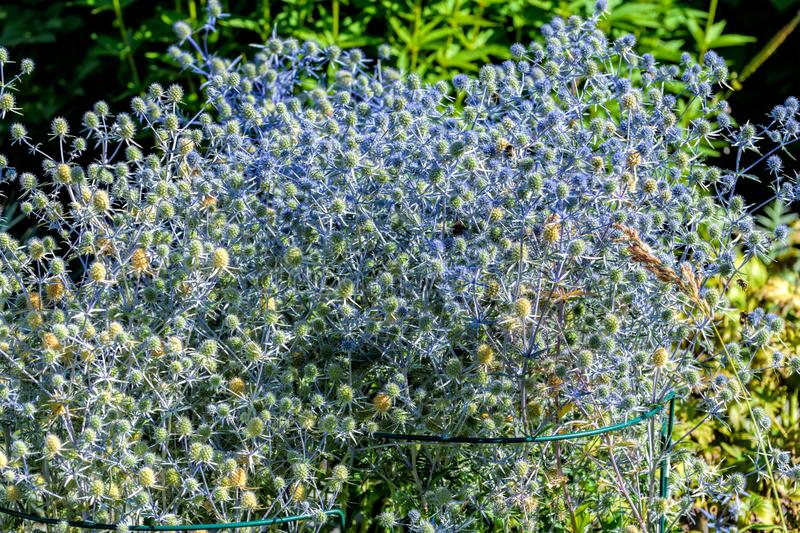 Flowering healing herbs Eryngium planum in garden. royalty free stock photo