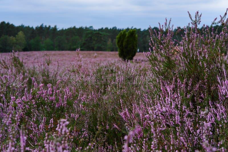 Flowering heathland near Amelinghausen in the Lueneburg Heath. Plant, pink, heather, calluna, vulgaris, freshness, still, natural, vibrant, warm, purple, soft royalty free stock image