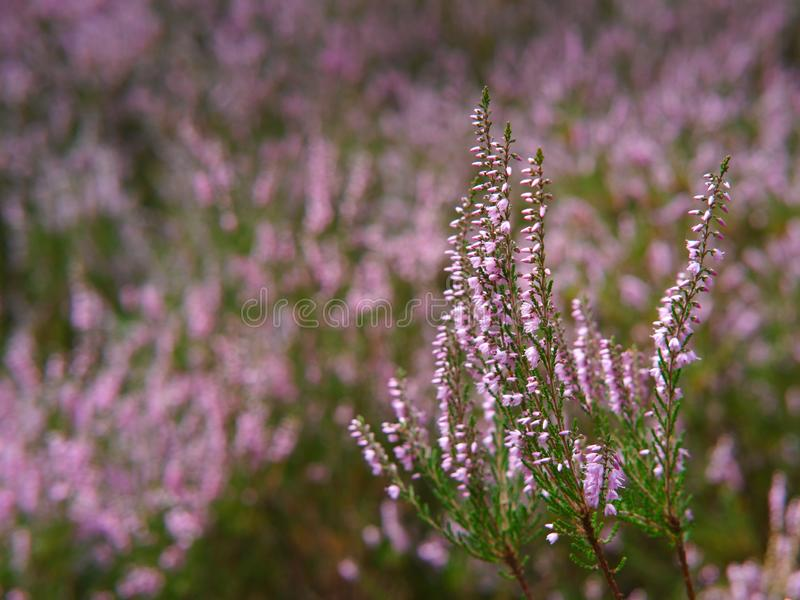 Flowering heathland near Amelinghausen in the Lueneburg Heath. Plant, pink, heather, calluna, vulgaris, freshness, still, natural, vibrant, warm, purple, soft stock photos