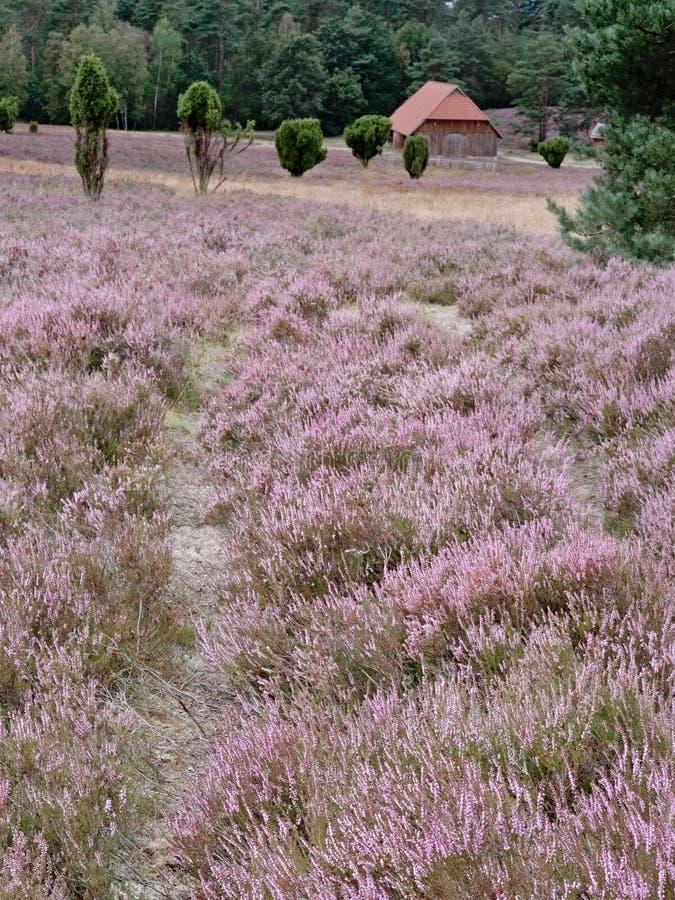 Flowering heathland near Amelinghausen in the Lueneburg Heath. Plant, pink, heather, calluna, vulgaris, freshness, still, natural, vibrant, warm, purple, soft stock photo