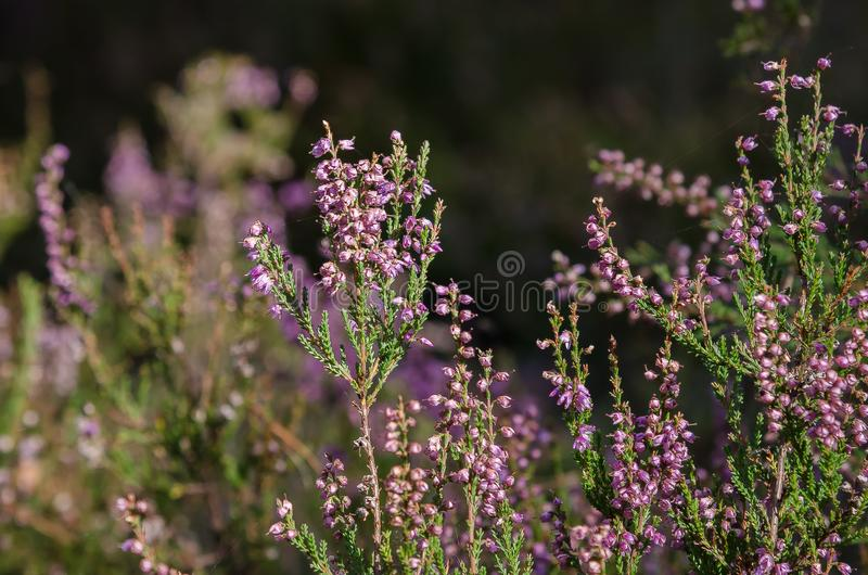 Flowering herbs in autumn in a coniferous forest stock image