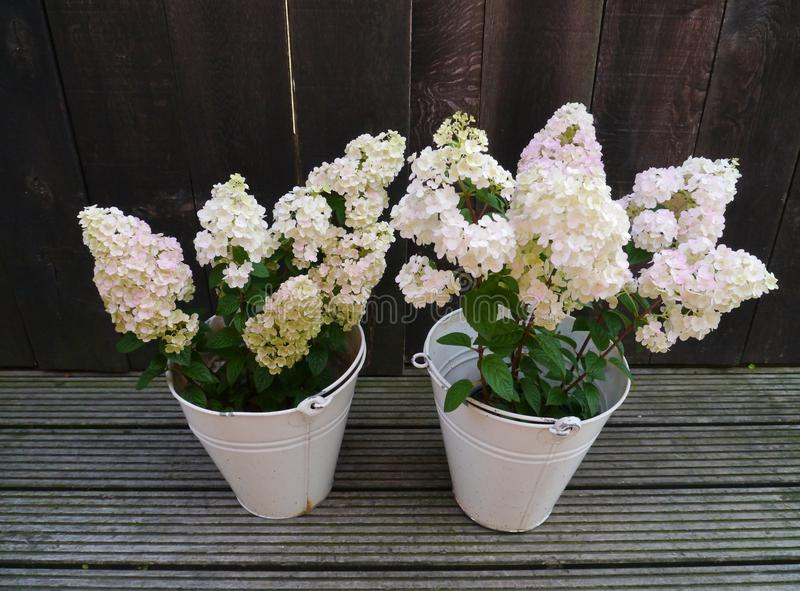 Flowering hortensia plants in zinc buckets stock image image of up download flowering hortensia plants in zinc buckets stock image image of up bloom mightylinksfo