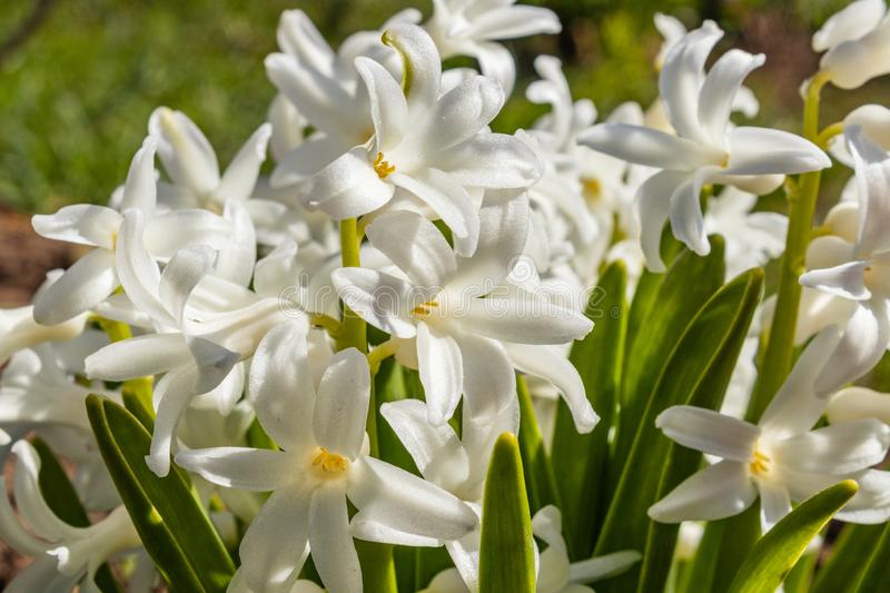 Flowering hyacinth with white petals buds and green leaves. spring flower, close-up stock image