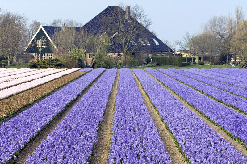 Flowering hyacinths in the bulb area, Kennemerland. Netherlands, North Holland province, village Heiloo. One of the attractions of the bulb area is growing bulbs royalty free stock image