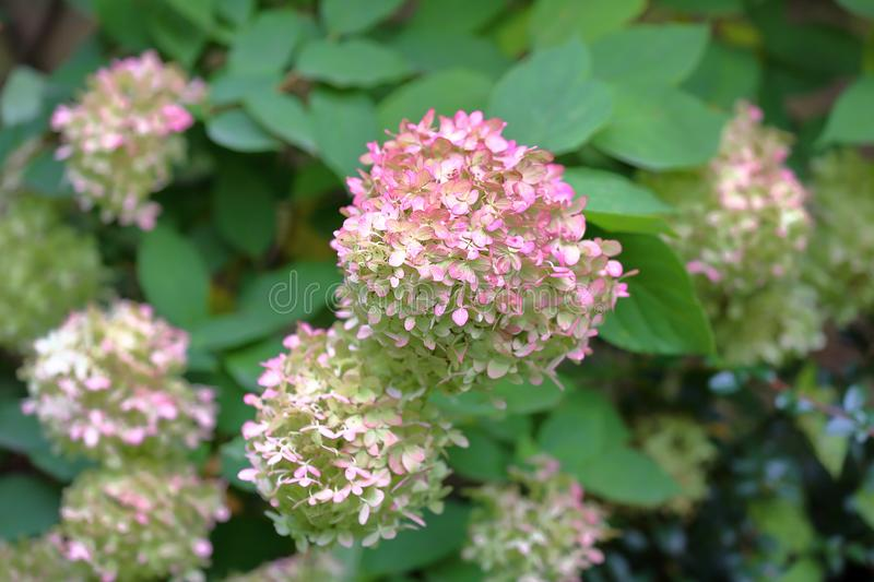 Flowering of the Hydrangea Paniculata plant royalty free stock photography