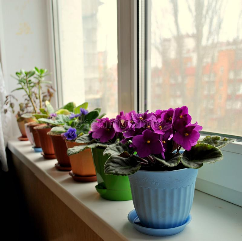 Flowering indoor violets are on the windowsill in pots. royalty free stock photography