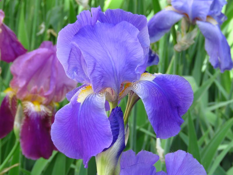 Flowering Iris plant flower in the garden park. Closeup view. royalty free stock photos