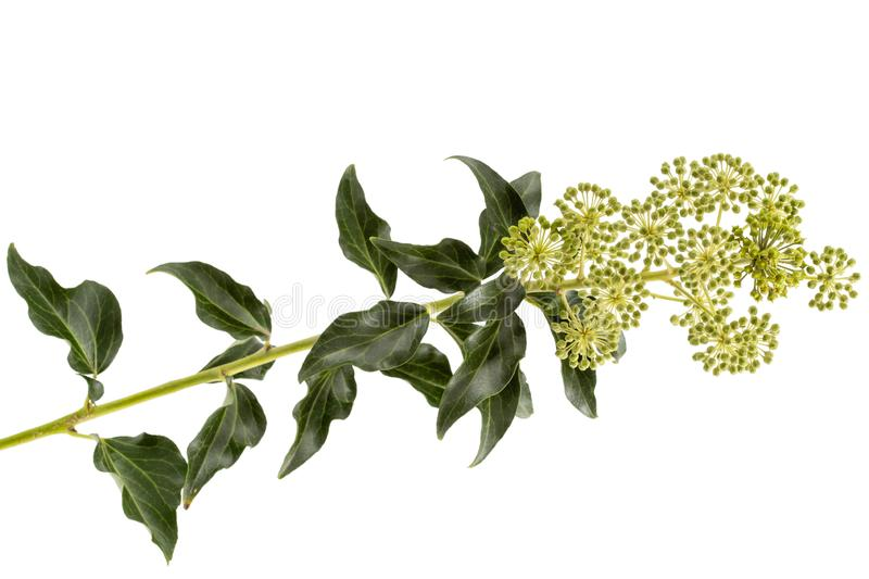 Flowering ivy, branch with inflorescences and green leaves, isolated on white background.  stock photos