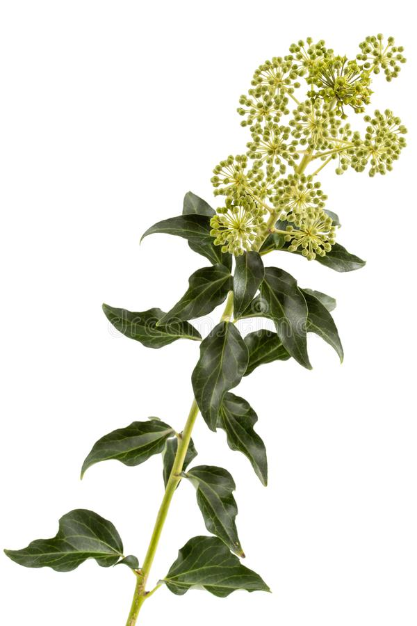 Flowering ivy, branch with inflorescences and green leaves, isolated on white background.  stock images