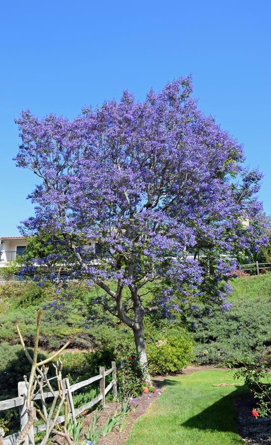 Free Flowering Jacaranda Tree In Laguna Woods, California. Royalty Free Stock Photos - 70808088