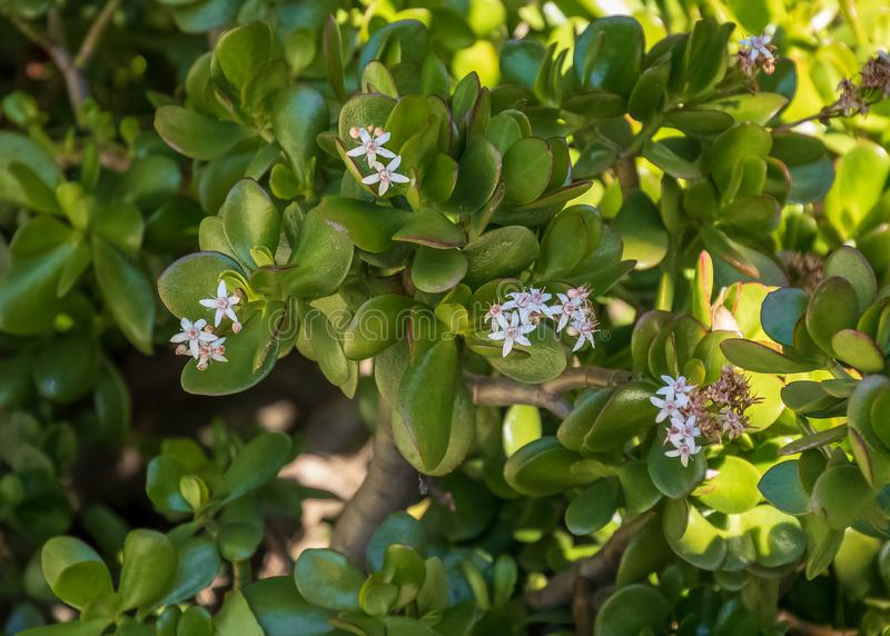 Large, flowering jade plant blossoming in California. Large, flowering jade plant blossoming in San Diego of southern California stock photography