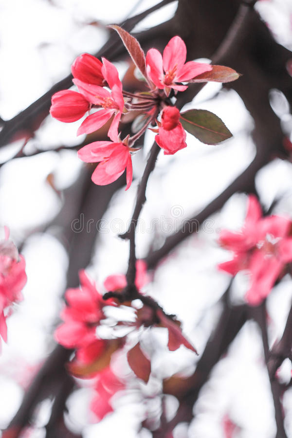 Flowering of Japanese cherry blossoms stock photos