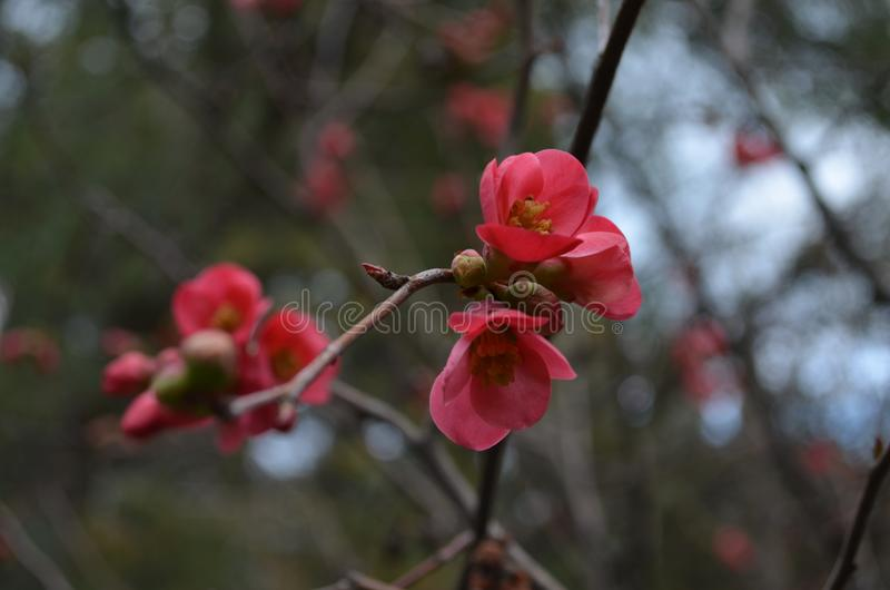 Flowering Japanese Quince stock image