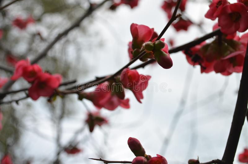 Flowering Japanese Quince stock photography