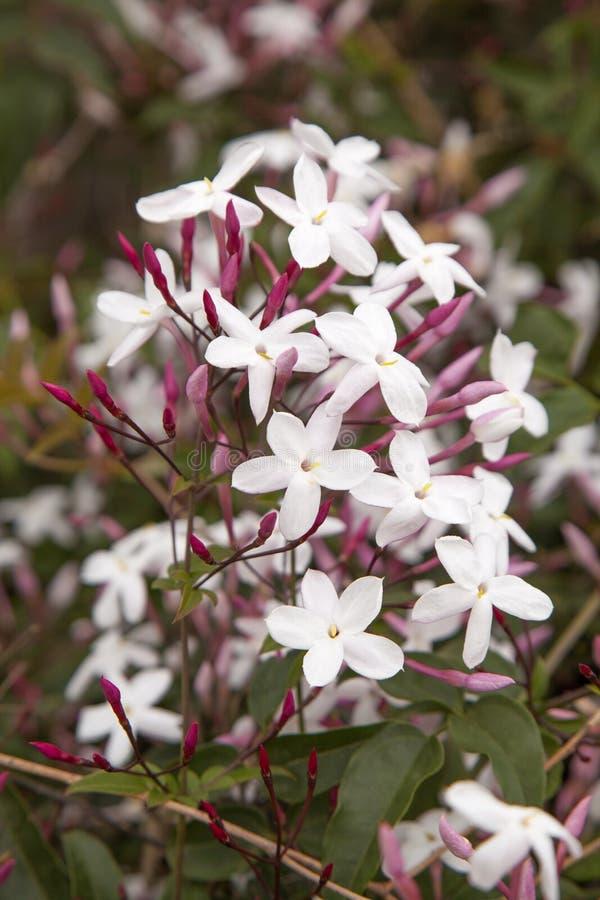 Flowering jasmine background stock images