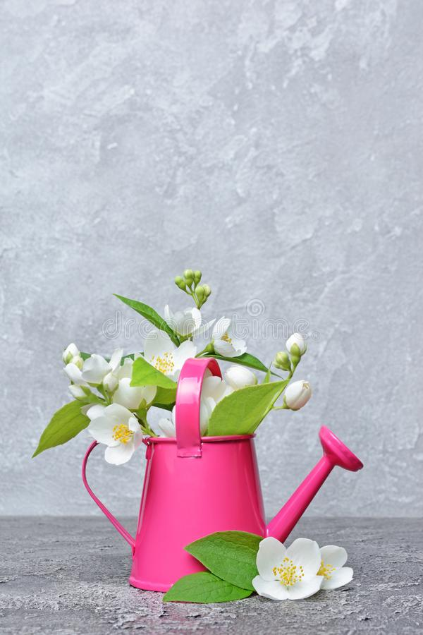 Flowering jasmine in a decorative garden watering can royalty free stock image