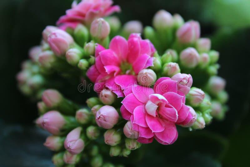 Flowering of Kalanchoe stock photo