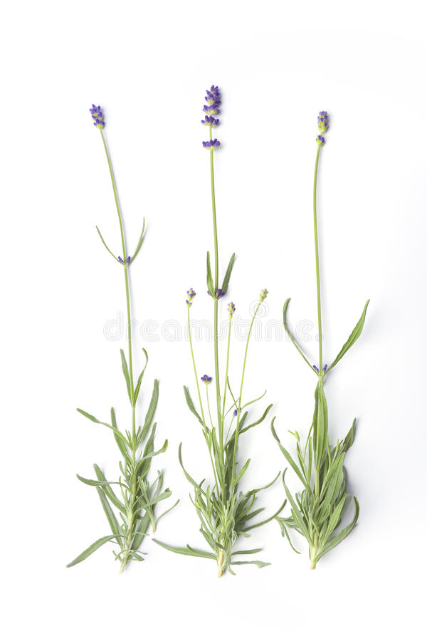 Flowering Lavandula Angustifolia Stock Image
