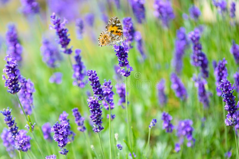Flowering lavender with cosmopolitan butterfly - Vanessa cardui, Syn.: Cynthia cardui stock image