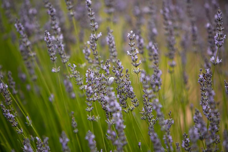 Flowering lavender field of natural color purple royalty free stock photos