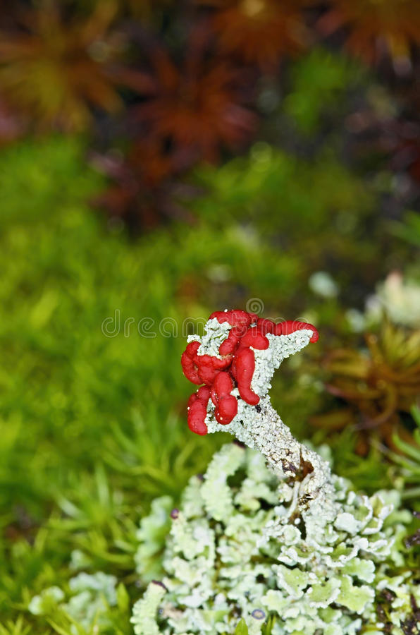 Flowering lichen royalty free stock photo