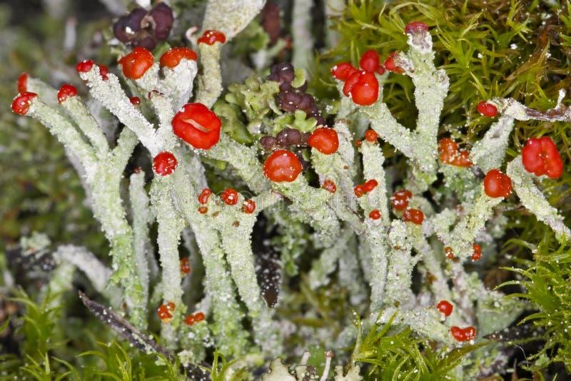 Flowering lichen stock photo