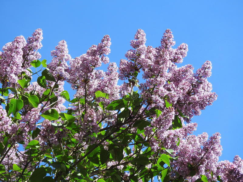 Flowering lilac bush. Beautiful violet lilac bush in spring , Lithuania royalty free stock photo