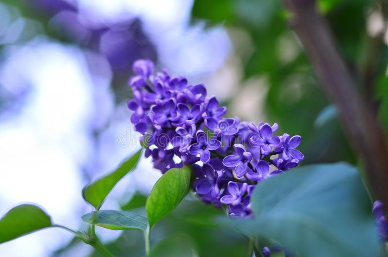 Spring flowering of lilac royalty free stock photos