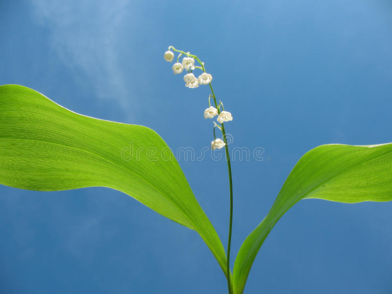 Download Flowering Lily May (Convallaria Majalis) Stock Photo - Image: 15050528