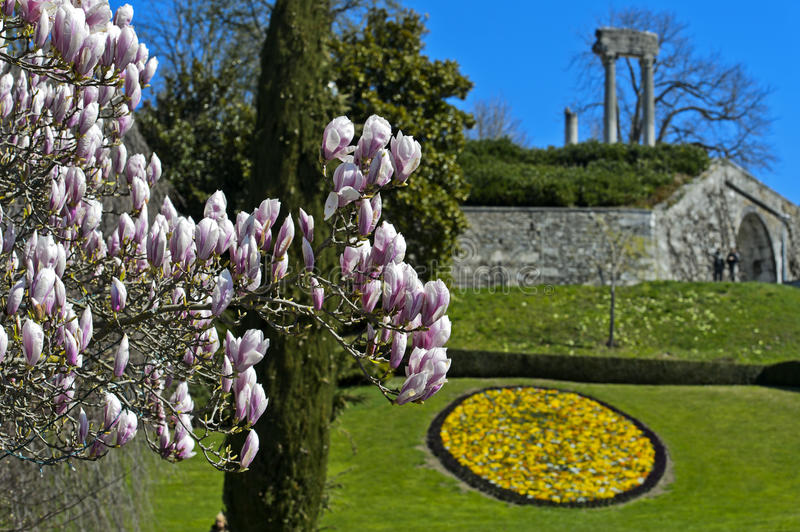Flowering magnolia in the park royalty free stock photo