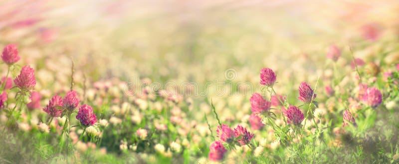Flowering meadow in spring, flowering clover royalty free stock image