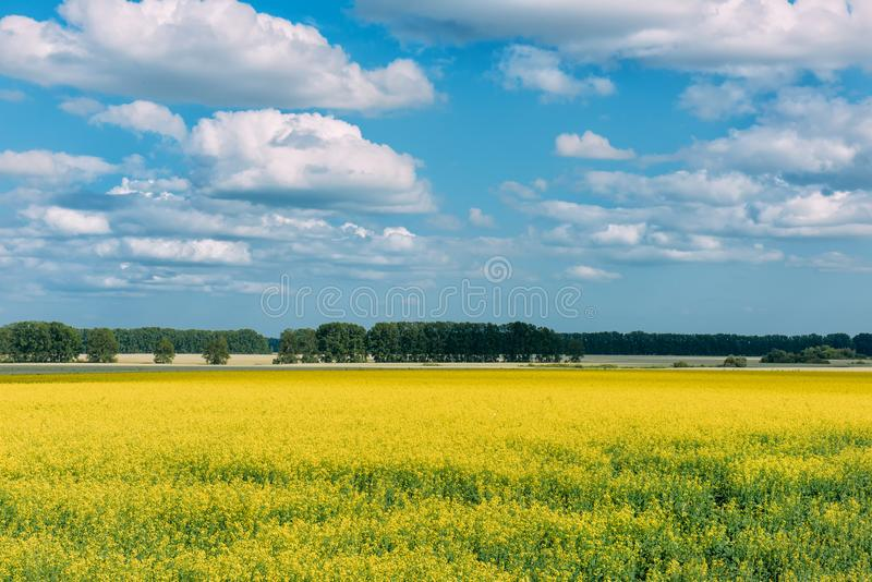 Flowering meadow in the sunny day. Summer landscape with a large field of yellow flowers, blue sky and trees in the distance. Background picture for different royalty free stock image