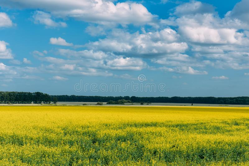Flowering meadow in the sunny day. Summer landscape with a large field of yellow flowers, blue sky and trees in the distance. Background picture for different royalty free stock photo