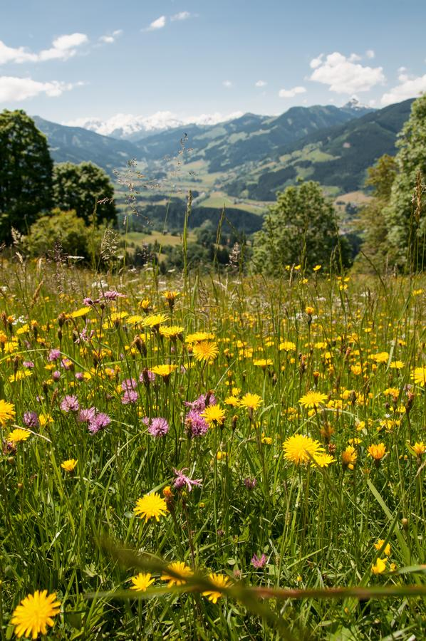 Flowering meadow in the Tyrolean alps in Austria royalty free stock photography