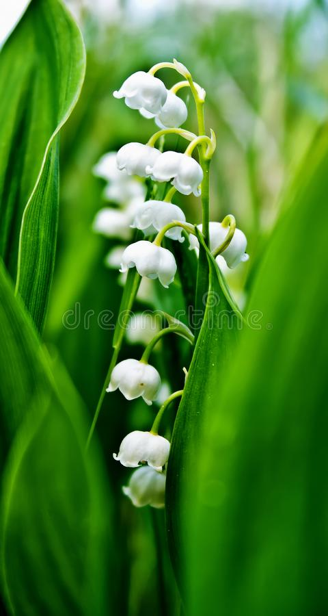 Medicinal flower Lily of the valley. Flowering medicinal plant Lily of the valley closeup on a background of green leaves stock images