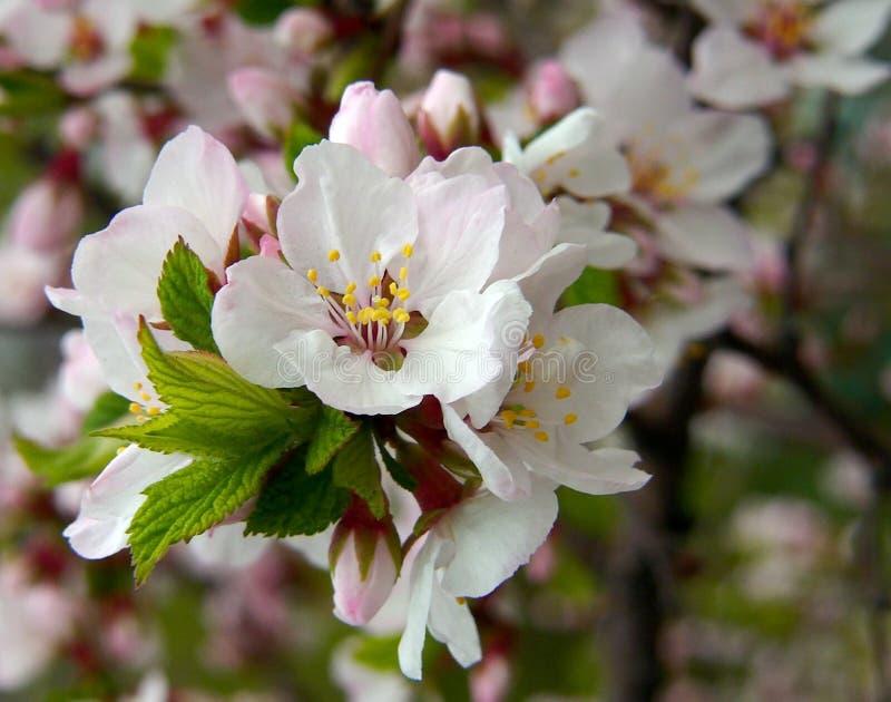 Flowering Nanking Cherry royalty free stock photos