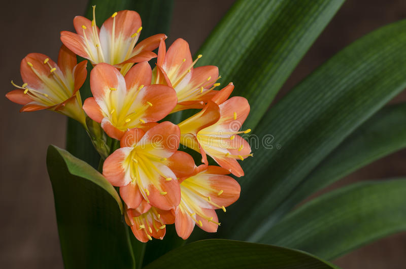 Flowering Natal or bush lily 1 (Clivia miniata) stock images