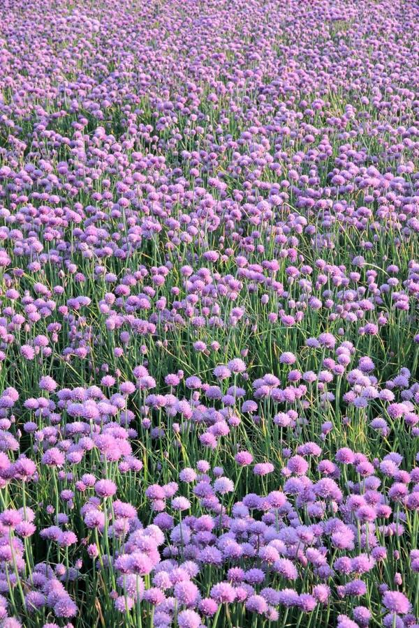 Flowering onion field stock photos