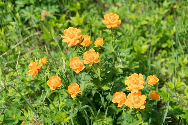 Flowering orange Globe-flower Asian lat. Trollius asiaticus in the forest in a clearing, on a sunny summer day stock photography