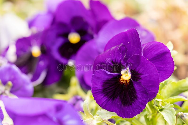 Flowering pansies and violets royalty free stock photography