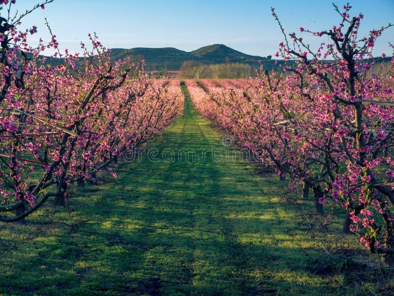 Flowering in the peach fields at sunset. Aitona. Lerida. Spain royalty free stock photo