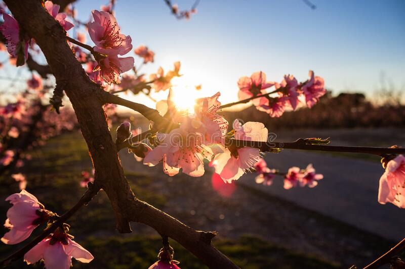 Flowering in the peach fields at sunset. Aitona. Lerida. Spain. Close up royalty free stock photo